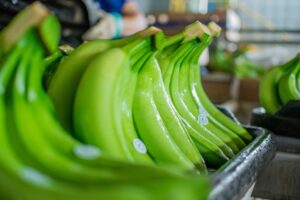 Bananas are the most important traded fruits in the world in terms of export value