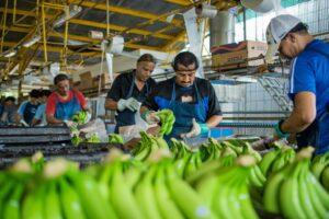 Disease Is Ravaging the $25 Billion Banana Industry