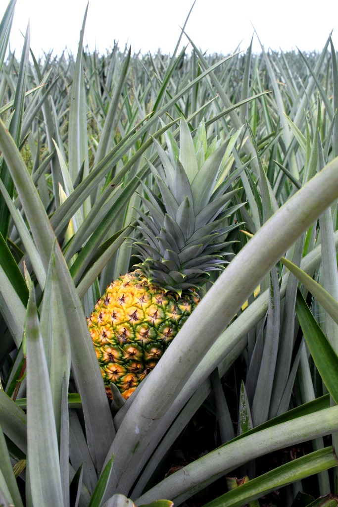 Pineapple plantation Costa Rica