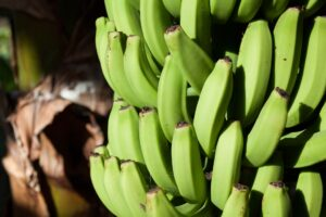 New study on the impact of climate change on banana production in Latin America