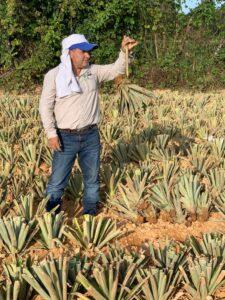 In einer Ananasplantage