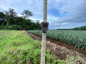Trail Camara in pineapple_Costa Rica_GFA